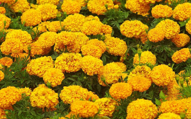 get-spotless-and-glowing-skin-instantly-with-this-diy-marigold-face-mask